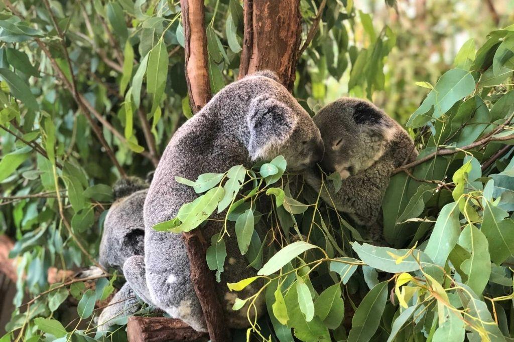 brisbane koala sanctuary